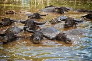 Wasserbüffel - Thailand