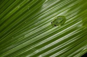 Glasfrosch - Costa Rica